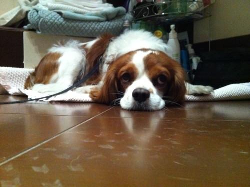 Разходка на куче Кавалер Кинг Чарлз шпаньол / CAVALIER KING CHARLES SPANIEL - Куче Чарли порода Кавалер Кинг Чарлз шпаньол | Roshkovtsi