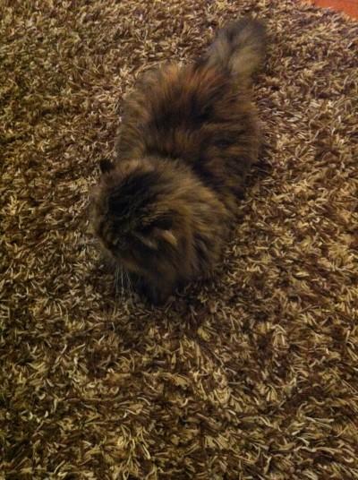 Гледане на котка вкъщи от петситър - персийска котарак Бен